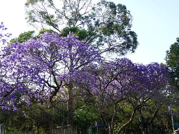 Mexico Arbres violets