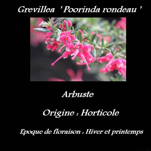 Grevillea  ' Poorinda rondeau '