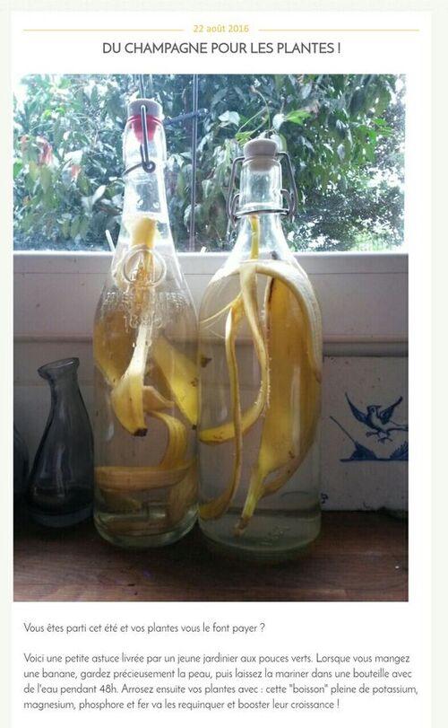 engrais naturel: peau de banane dans l'eau