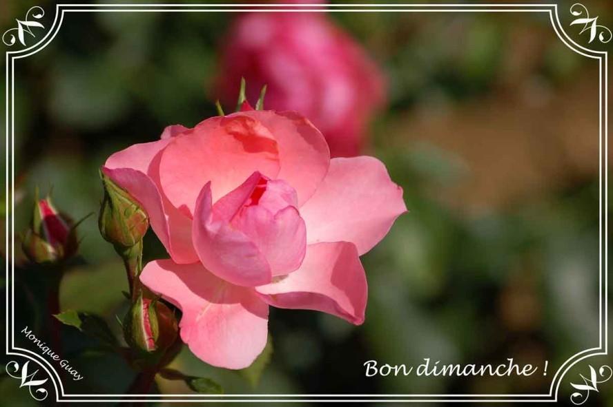 rose-rose-1