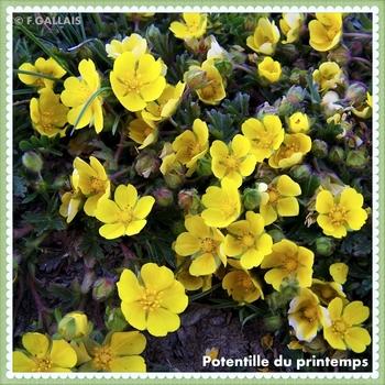 Potentille du printemps-Potentilla neumanniana