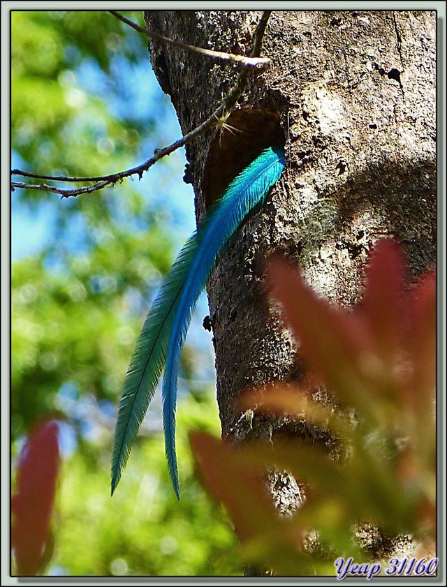 Blog de images-du-pays-des-ours : Images du Pays des Ours (et d'ailleurs ...), La chasse au quetzal est ouverte! - San Gerardo de Dota - Costa Rica