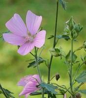 Mauve musquée fleur