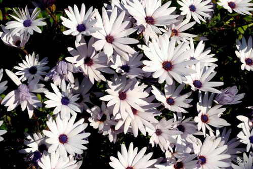 Belles fleurs blanches : quel nom?