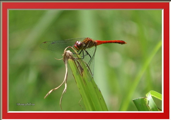 Le coucou du haïku 88 : la libelulle rouge