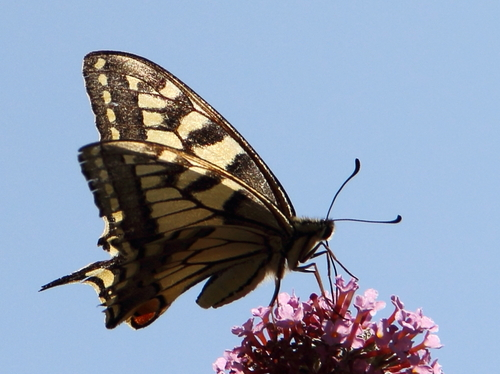 Machaon au point de croix