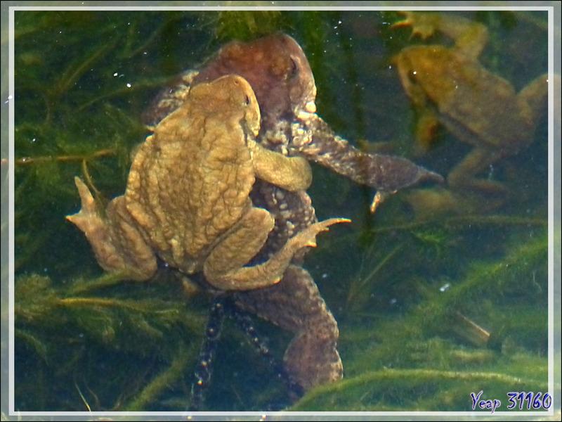 C'est déjà le printemps dans mon bassin à poissons ! Crapauds communs (Buffo buffo) in copula - Lartigau - Milhas - 31