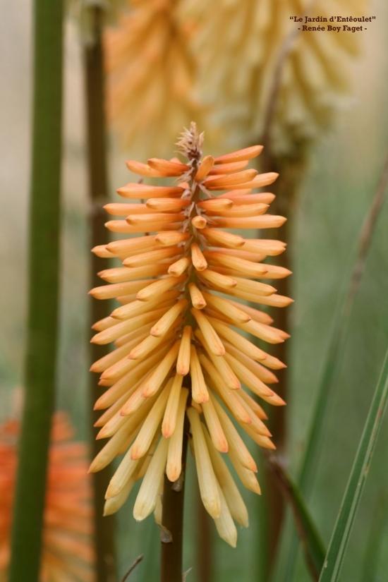 knifophia h.'tawny king' 4