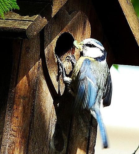 Mes.-bleue--nourrissage-24-04-12-022.jpg