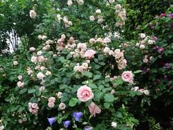 Roses 2018: Un bon cru!