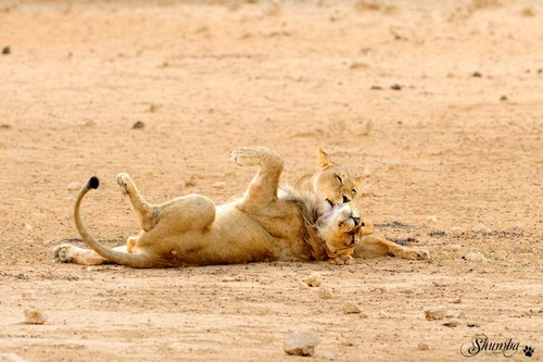 Prides of the desert, Kgalagadi NP