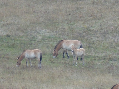 Les chevaux de Przewalski