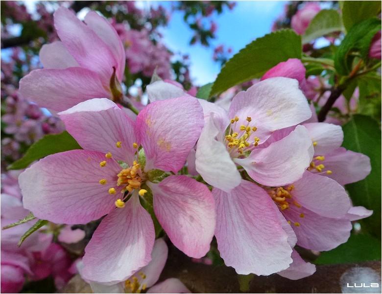 Floraison des cerisiers
