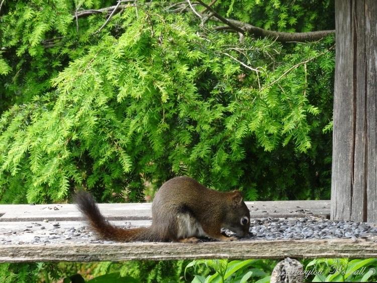 Nouvelles du Canada 127 : Chips l'écureuil