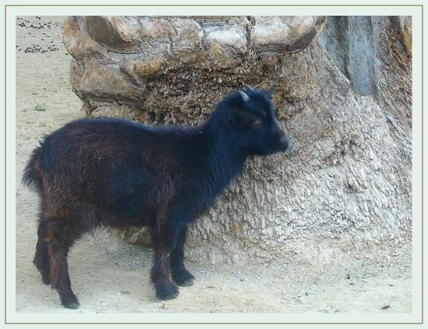 chevreau noir