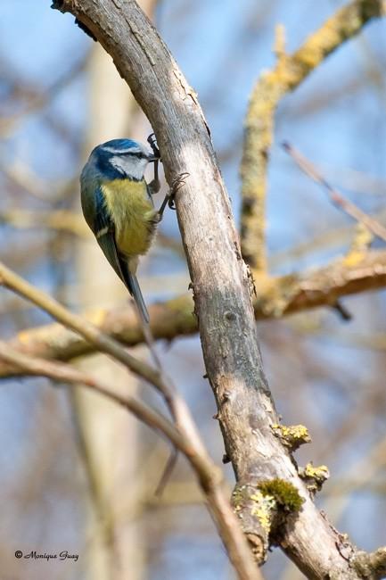 mesange-bleue-4648.jpg