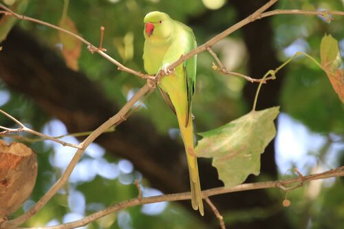 Perruche à Collier (Rose-ringed Parakeet)