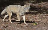 Loup gris - p 373
