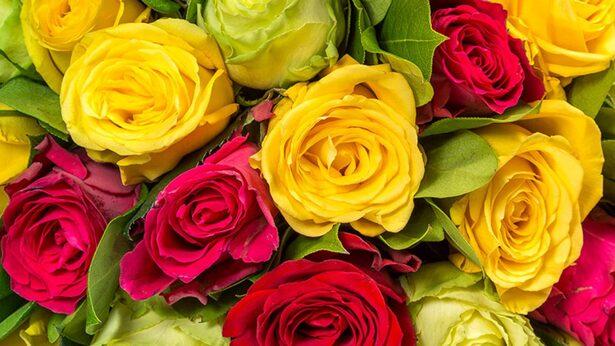 Le code des roses, signification de toutes les couleurs   éclosion