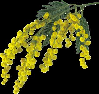 ♥ Mimosa ♥