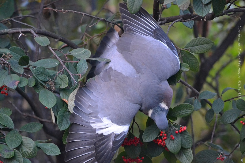 Le repas du pigeon ramier (ou palombe)