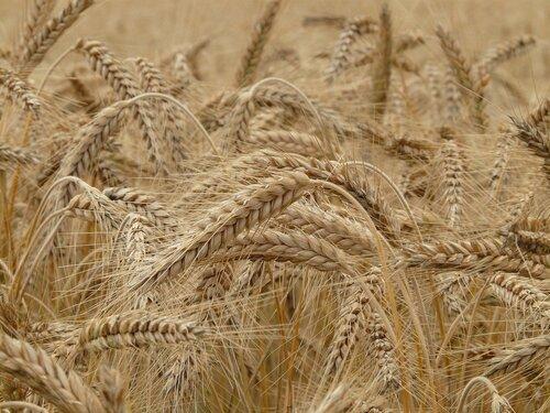 Avez-vous semé votre blé ce 4 décembre ?