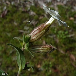 silenelatifoliacaa