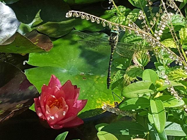 Le bal des libellules