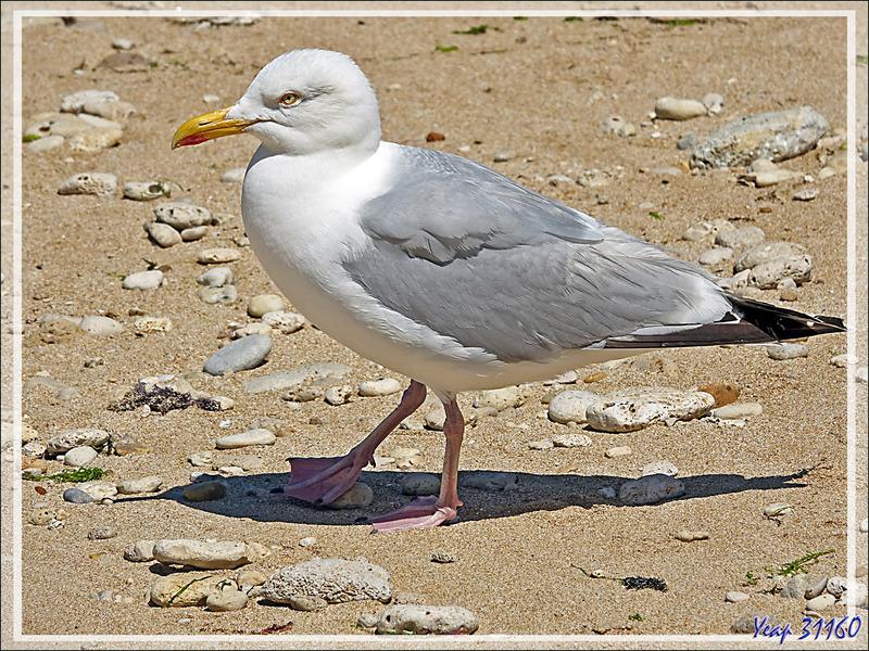 Goéland argenté, European Herring Gull (Larus argentatus) - Saint-Clément-des-Baleines - Ile de Ré - 17