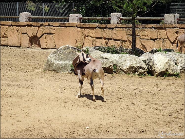 Photo d'Oryx Beisa du Zoo de la Palmyre