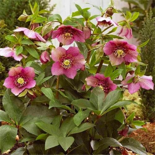 Fleurs cultivées : Hellebore