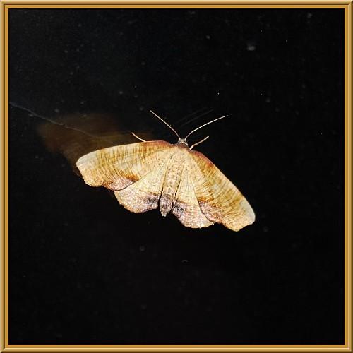 Plagodis-dolabraria-_Geometridae-Ennominae-Hypochrosini-2.jpg
