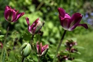 Tulipes Nightrider4
