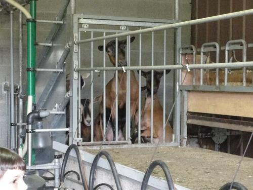 -La chèvrerie Rouaud à Molesme