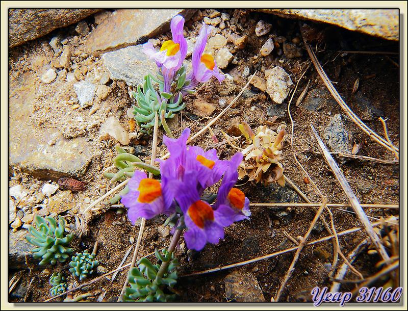 Linaire des Alpes (Linaria alpina) - Massif du Canigou - 66  (Flore)