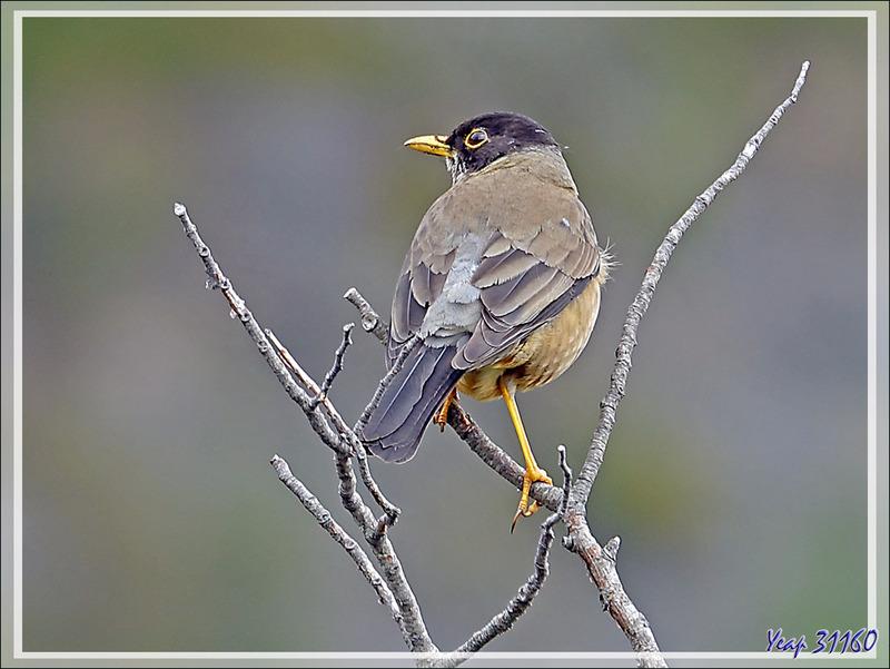 Merle austral, Austral Thrush, Zorzal Patagónico (Turdus falcklandii) - Bahia Lapataia - Terre de Feu - Patagonie - Argentine