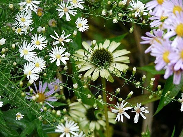 Asters---Echinacea-P1310343.JPG