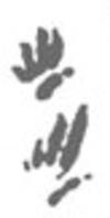 sketch_rhynchosauroides_spp