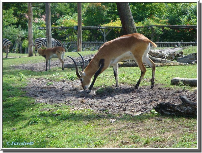 Antilopes3