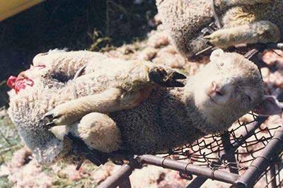 La souffrance des agneaux pour la laine