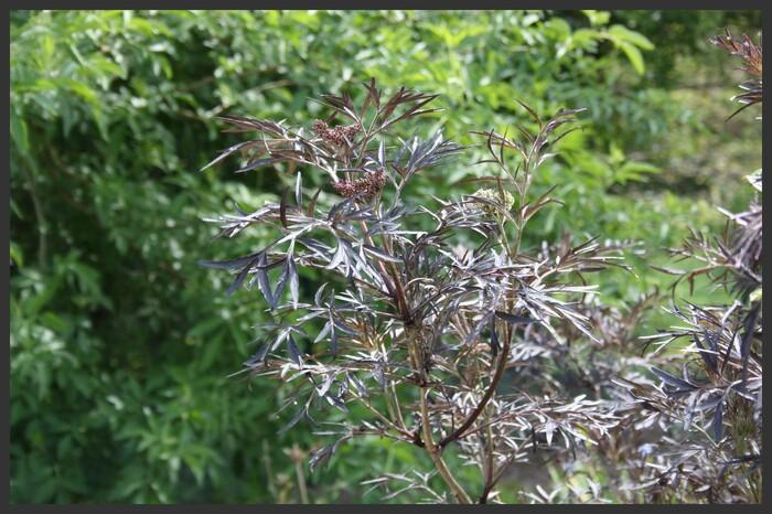 sambuscus nigra 'Black Lace'