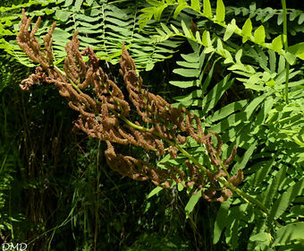 Osmunda regalis  -  osmonde royale