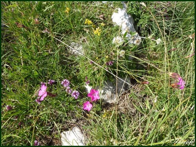 Flore du Grand Colombier (7)