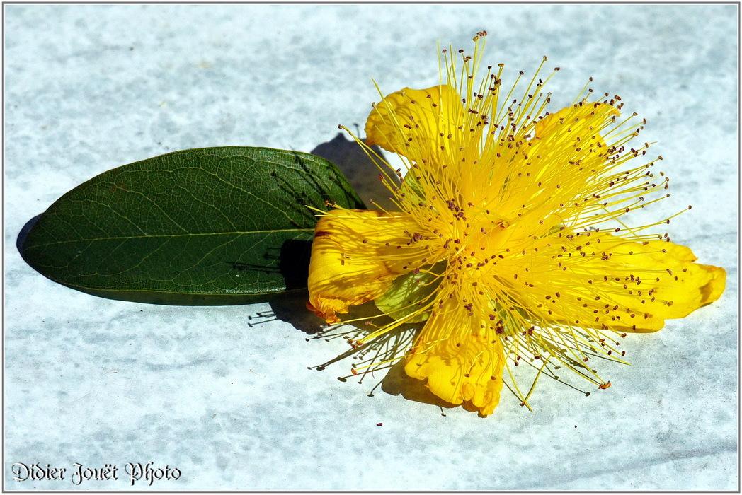 Millepertuis Perforé / Hypericum perforatum