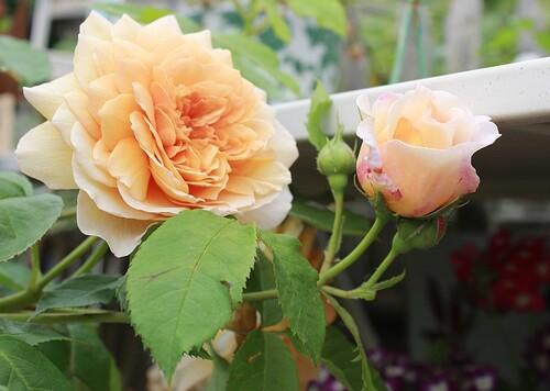 Portes ouvertes du 10,11 et 12 juin 2016: 'Au fil des Roses'-La Rose du Petit Prince