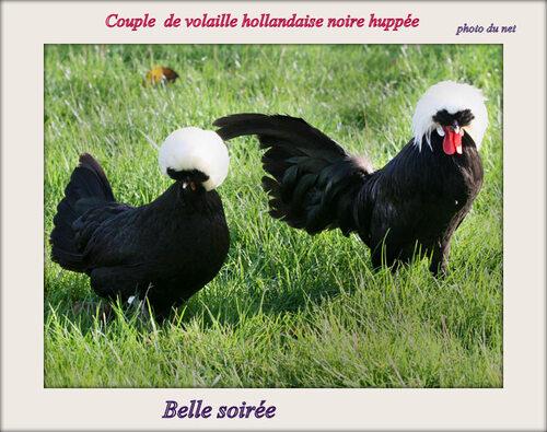 Le coq Hollandais Noir à Huppe blanche