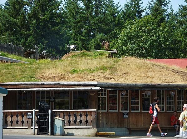 Jour 25 Coombs chèvre sur toit