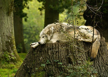 Les loups ... ouh ... ouh ...