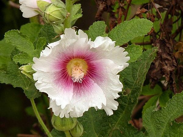 Rose tremiere blanche frangée 01