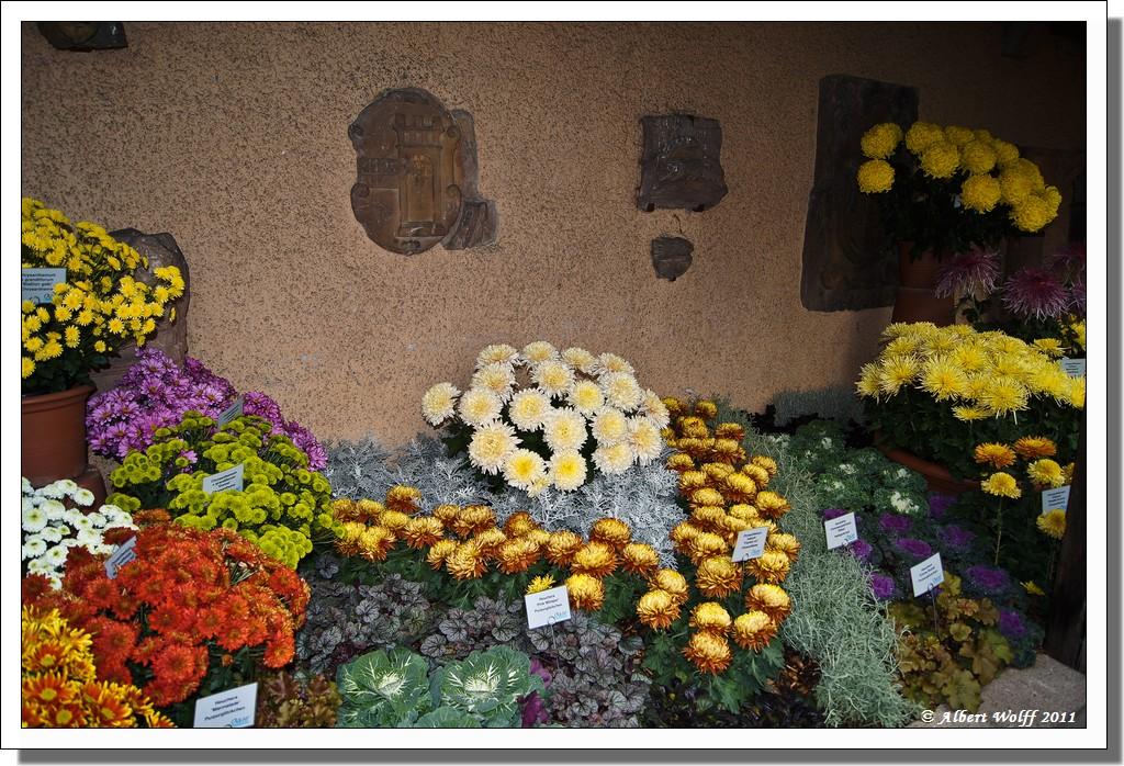 La fête du chrysanthème